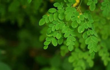 Manfaat daun kelor untuk kesehatan dan cara penggunaannya